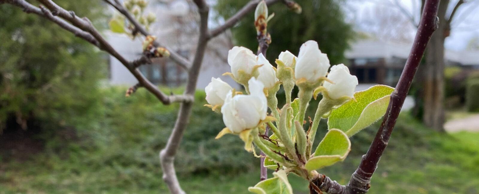 1. Blüte auf der Streuobstwiese